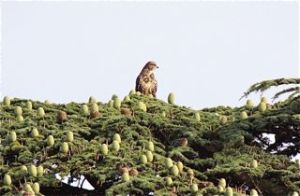 Buzzard in conifer tree