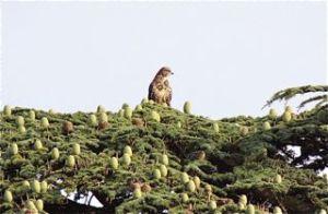 Buzzard in conifer tree